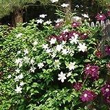 Immergrüne Hecke mit Kletterpflanzen (Clematis & Efeu) - für eine 2 meter 100% Sichtschutz Hecke | ClematisOnline Kletterpflanzen & Blumen