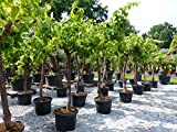 Vitis Vinifera Hochstamm 230 cm Weinstock Weinrebe Weintraube Traube