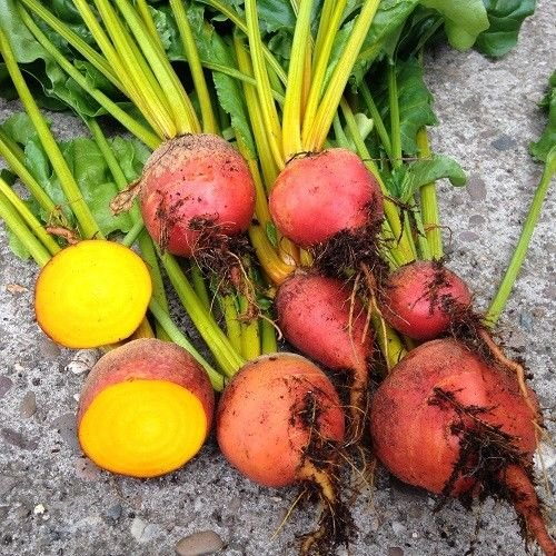 Portal Cool 100 Samen: Burpee Golden Beets {30100200400} Seeds Erbstück Behandelte 55 Tage Groß