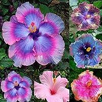 Lot de 100gaines Zhouba - Hibiscus géant rare couleur arc-en-ciel - Graines pour plante vivace en pot  Taille unique multicolore