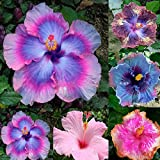 zhouba 100seltene Rainbow Farbe GIANT Hibiskus Samen Topfpflanzen Mehrjährige Pflanze Blume Samen