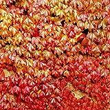 Rowentauk 30 Stücke Boston Ivy Reben Samen Efeu Rank Samen DIY Hausgarten Im Freien Klettern Seltene Samen Outdoor Wände Zäune Rankgerüste und Pergolen Wand Dekor
