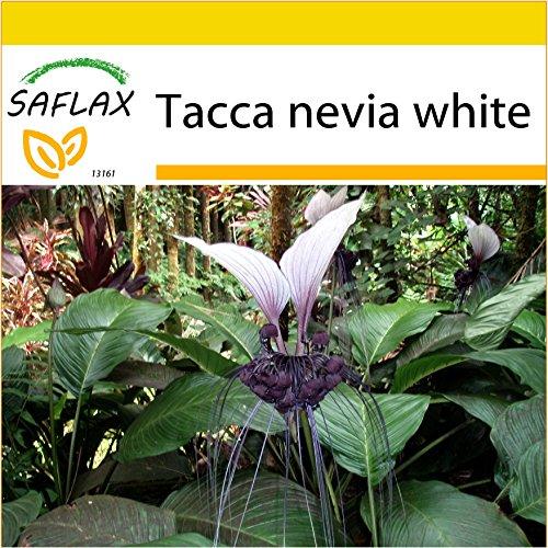 SAFLAX - Anzucht Set - Nepalesische Riesen - Fledermausblume - 10 Samen - Mit Mini-Gewächshaus, Anzuchtsubstrat und 2 Töpfen - Tacca nevia white