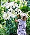 MyRedRose Tree-Lily®-Kollektion 4 Farben 9 Stück Baumlilien von MyRedRose bei Du und dein Garten
