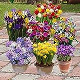 Complete Spring Flowering Bulb Collection - 300 bulbs in 7 varieties