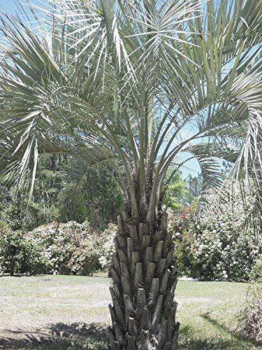 vegherb 5 Samen der Butia capitata Kalte Hardy Jelly Palm