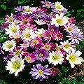 Anemonen Mischung von Meingartenshop bei Du und dein Garten