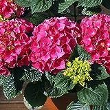 Delaman Hydrangea Samen, Reine Blume, Topfpflanzen für Haus Garten, 20 Stück (Color : Red)