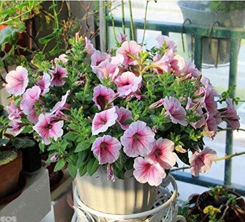 100PCS graines de pétunia mixte couleur bonsaïs fleur ornementale rose et graines de fleurs noires rares plantes de jardin hom