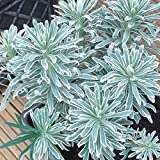 1 X EUPHORBIA 'GLACIER BLUE' MEDITERRANEAN SPURGE EVERGREEN SHRUB PLANT IN POT