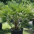 Frostharte Chamaerops humilis Höhe 70-90 cm. Eine der kältetolerantesten Palmenarten in Europa von Peciborsc Pflanzenraritäten bei Du und dein Garten