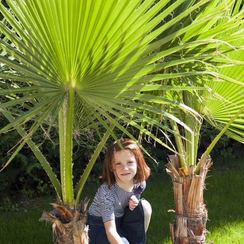 pair-of-washingtonia-hardy-cotton-palms-1m-tall-2-pieces