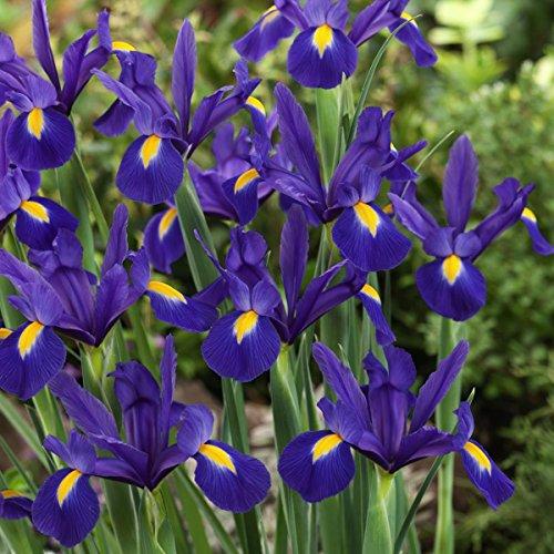Iris Pflanzen (Dominik Blumen und Pflanzen, Holländische Iris blau, 7/8, 4x20 Zwiebel)