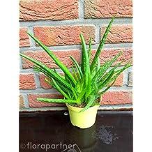 """Aloe vera """"Barbadensis miller"""" Sweet Kräuter Pflanzen 1stk."""
