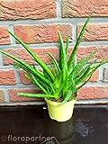 Aloe vera Pflanze,Barbadensis miller Sweet, Kräuter Pflanzen 3stk.essbar!