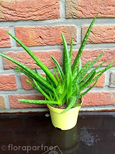 """echte Aloe vera Pflanze,\""""Barbadensis miller\"""" Sweet von Florapartner Kräuter Pflanzen 2stk.\""""essbar!\"""""""