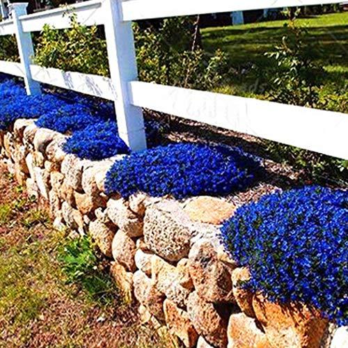 Aimado Seeds Garden- 100pcs Graines de Campanules des rocailles Vivace Plantes grimpantes étoiles tapissantes grande rocaille grainé fleur jardin résistant au froid