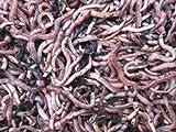 Angelwürmer, Futterwürmer, Regenwürmer - 1 Kg mittlere (ca. 800 Stück)