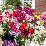 Tulpenzwiebeln Rosentulpen Mischung Blumenzwiebeln, mehrjährig + robust - Frühe Tulpe stark gefüllt - 17 Tulpen-Zwiebeln von Garten Schlüter - Pflanzen in Top Qualität