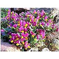 3 Pack (9cm Pots) Shrub – Polygala Chamaebuxus Grandiflora (Kamnisky/Creeping Milkwort) Low Growing Garden Plant