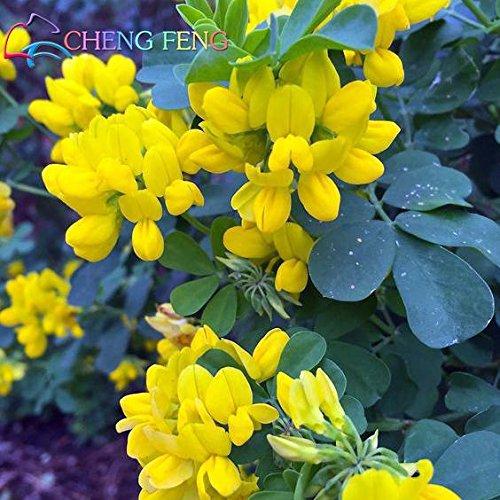 100 Graines Jardin Fournitures Plantes Pot Crown Vetch Seeds annuel Belle Fleur Mini Petite 2016 Seed Courtyard Décoration Bonsai
