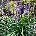 1 x Liriope muscari 'Amethyst' Lilientraube (Ziergras/Gräser/Stauden) von Stauden Gänge auf Du und dein Garten