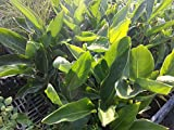 Sterlizia Regina Piante di Sterlizia in Vaso 7x7 - 5 Piante