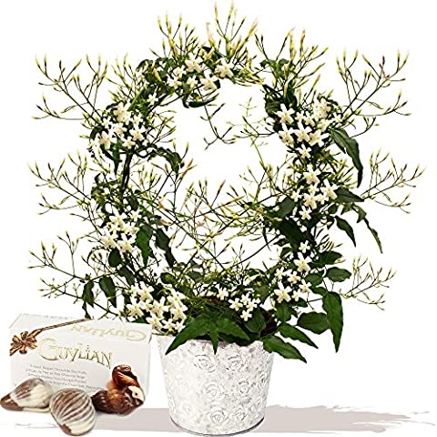 SWEET SCENTED JASMIN PLANT GIFT - Exclusive Bouquets & Flowers for Mothers Day by Eden4flowers