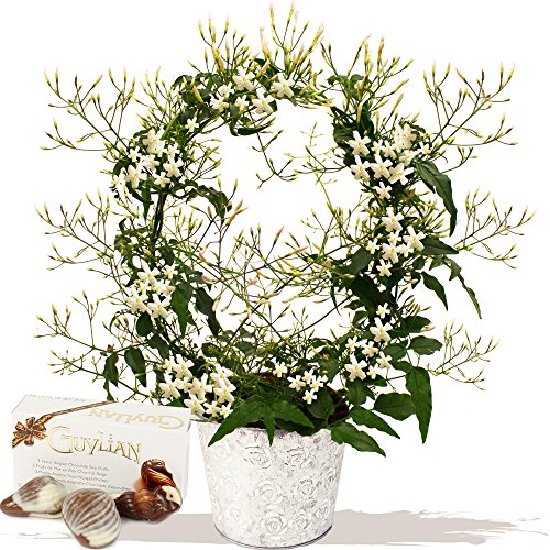 sweet-scented-jasmin-plant-gift-exclusive-bouquets-flowers-for-mothers-day-by-eden4flowers