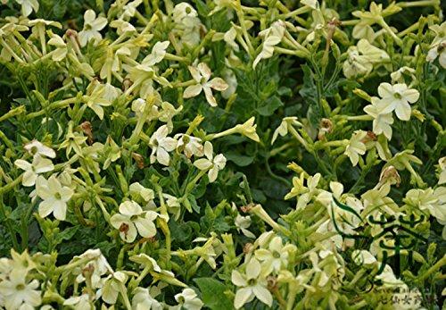 winged-tabacco-nicotiana-alata-semi-100pcs-semi-tanbaku-persiana-tabacco-bonsai-da-fiore-sementi-orn