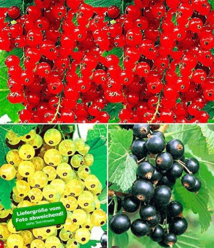 BALDUR-Garten Johannisbeer-Kollektion schwarz, rot + weiß, 3 Pflanzen Ribes Titania®, Versailler® und Rovada® Johannisbeersträucher Beerenobst winterhart