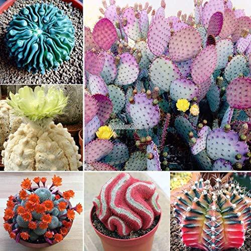Go Garden A propos de pack / 200Pcs: 200Pcs Lithops Mix Succulent Cactus exotiques Pierres vivantes Desert Rock Seed T