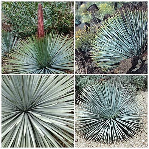 Portal Cool 10 Samen der Yucca whipplei = Yucca Whipplei, Sukkulente, Sukkulente Seed C