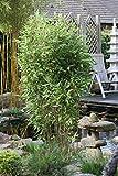 Hecken-Bambus `Blue Lizard´ ® Größe 30-L-Topf, 125-150 cm Pflanzenhöhe