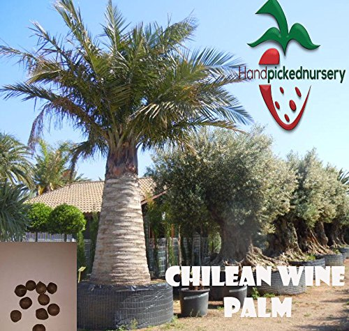 15 chilenische Palmensamen, (Jubaea chilensis) von Hand gepflückt Gärtnerei