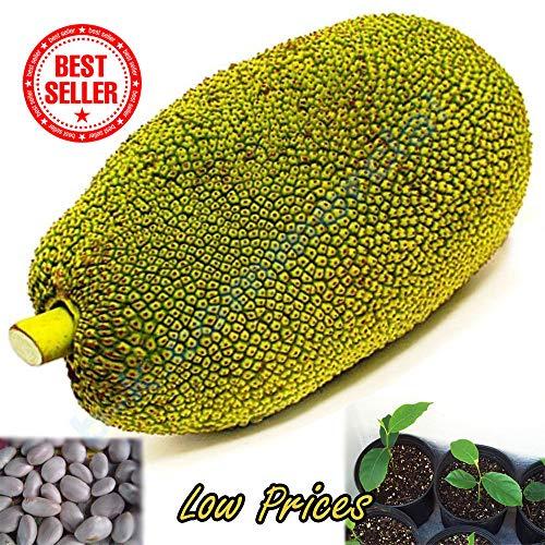 Portal Cool Samen Paket: 5 Samen Thailand frucht Obst süß Crunchy Artocar Heophyllus A +