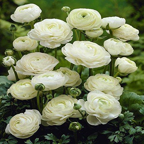 Renoncule des fleuristes Blanc 20 flower bulbs blanc