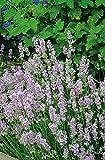 Lavendel 'Rosea' – Lavandula angustifolia - 1 winterharte Pflanzen im Topf mit leuchtend rosa Blüten als Hecke oder Busch - von Garten Schlüter - Pflanzen in Top Qualität