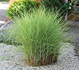 Miscanthus sinensis'Morning Light' - Chinaschilf - Gras winterhart mehrjährig...