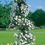 Ramblerrose 'Paul's Himalayan Musk Rambler®'