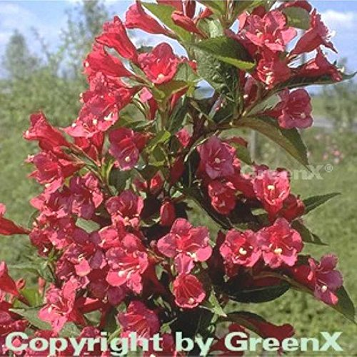 OBI Weigelie Weigela