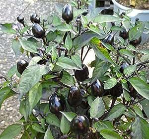 10 Graines de Piment Black Olive – poivron ornemental rare, mangeable