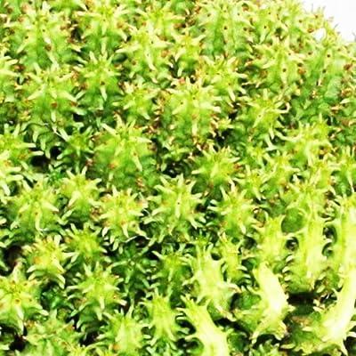 Euphorbia submammilaris - kleine Pflanze im 5,5cm Topf