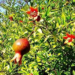 Future Exotics Der Granatapfel Punica granatum winterhart bis minus 12 Grad 50-60 cm