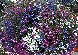 SeeKay Lobelia Cascade mix - Appx 6,000 seeds