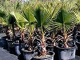 PALMA WASHINGTONIA FILIFERA vaso Ø 40 cm Palma californiana altezza 100/150 cm