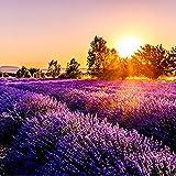 Ultrey Samenshop - 100 Stück Lavendel Samen