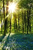empireposter - Forests - Sunrise Bluebell Wood - Größe (cm), ca. 61x91,5 - Poster, NEU -