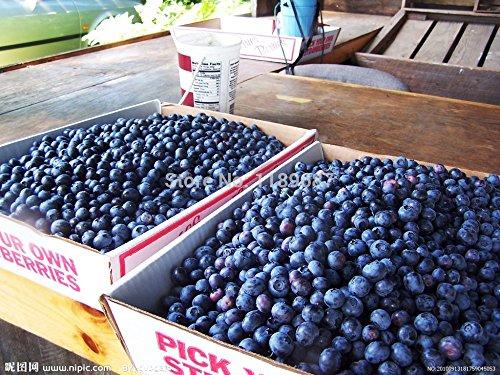 200 gigante americano frutta mirtillo semi di germinazione 95% +, rari semi di alberi da frutta per la semina giardino di casa