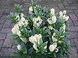 Portal Cool Lorbeerkirsche (Prunus Laurocerasus) 15 + Extra-Frische Samen !!!